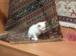 cute little kitten used to draw customers into a rug shop - novel approach to marketing!