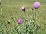 Thistles in Turkey!