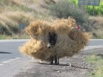 From a distance this looked like a moving haystack! Poor donkey, but at least it could snack as it went along.