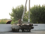 Sheep holding up the traffic on the M34 in Uzbekistan - not the usual cause of a motorway traffic jam back home!