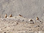 Marmots! We saw these everywhere in the Pamirs, really quite cute.
