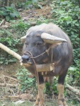 We love water buffalo!
