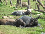 It was so hot we were tempted to join these water buffalo wallowing in mud
